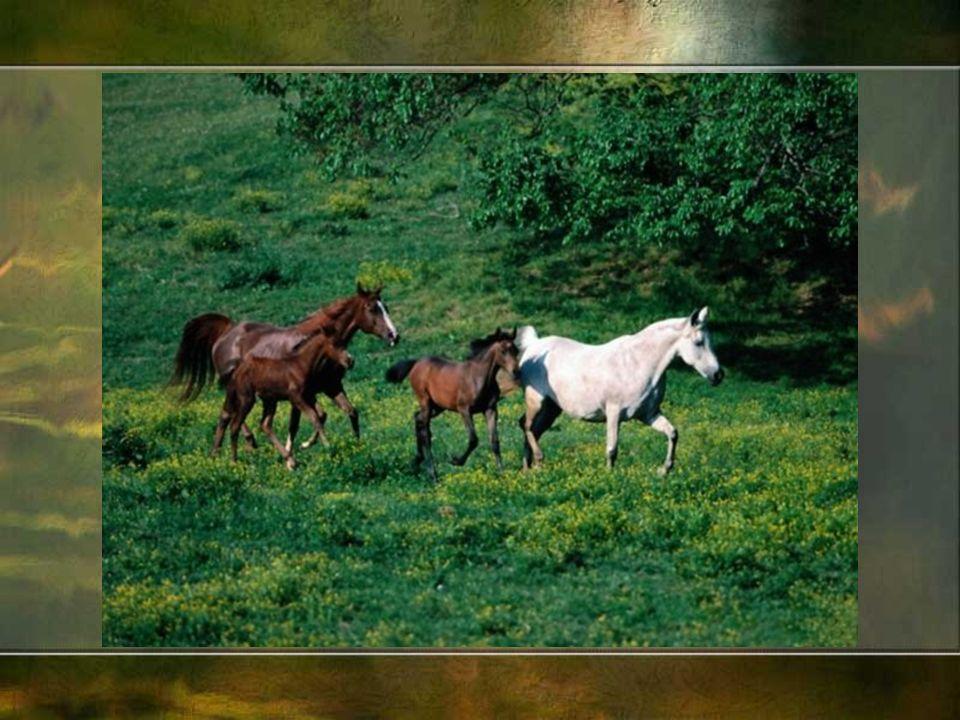 Rasy koni dzielą się na: