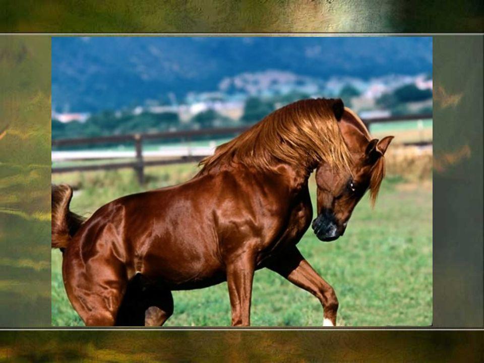 Wyhodowano wiele ras, do najpopularniejszych zalicza się konie: czystej krwi arabskiej - jego krzyż ó wki dały początek wielu innym rasom,czystej krwi arabskiej pełnej krwi angielskiej - konie wyścigowe.pełnej krwi angielskiej