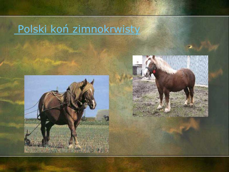 Konik polski, inaczej konik biłgorajskiKonik polski