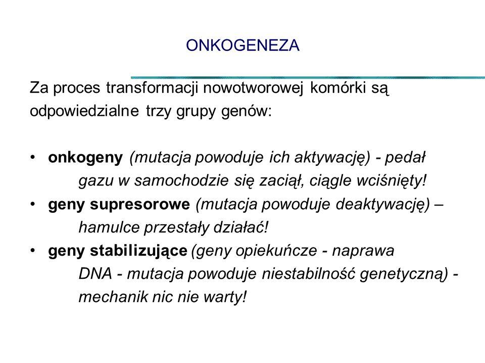 ONKOGENEZA Za proces transformacji nowotworowej komórki są odpowiedzialne trzy grupy genów: onkogeny (mutacja powoduje ich aktywację) - pedał gazu w samochodzie się zaciął, ciągle wciśnięty.