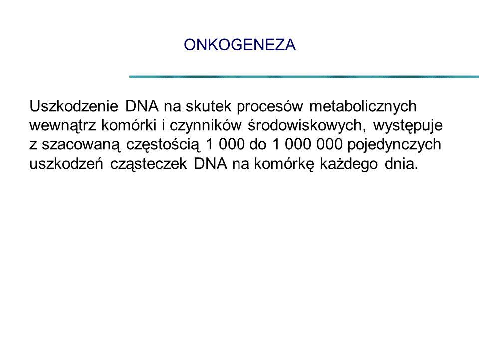 ONKOGENEZA Uszkodzenie DNA na skutek procesów metabolicznych wewnątrz komórki i czynników środowiskowych, występuje z szacowaną częstością 1 000 do 1 000 000 pojedynczych uszkodzeń cząsteczek DNA na komórkę każdego dnia.
