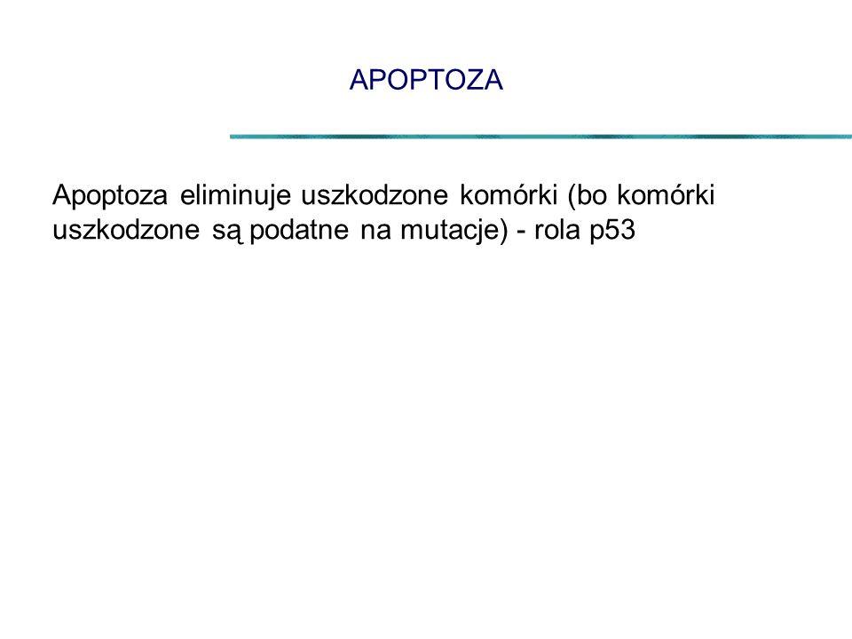 APOPTOZA Apoptoza eliminuje uszkodzone komórki (bo komórki uszkodzone są podatne na mutacje) - rola p53