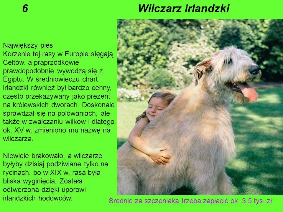 Największy pies Korzenie tej rasy w Europie sięgają Celtów, a praprzodkowie prawdopodobnie wywodzą się z Egiptu.