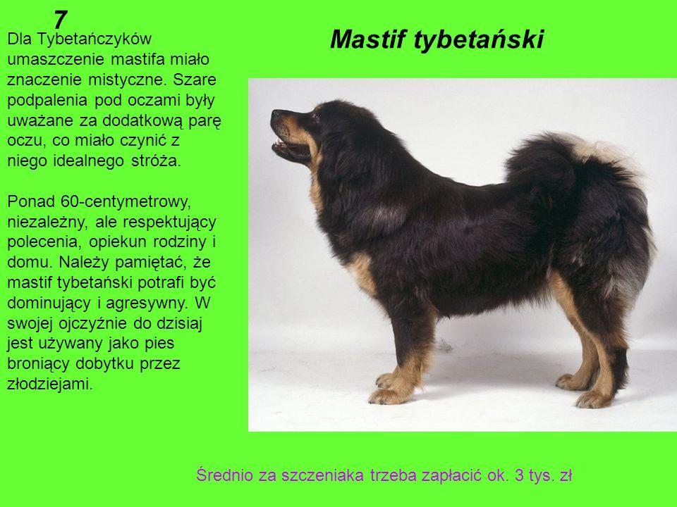 Największy pies Korzenie tej rasy w Europie sięgają Celtów, a praprzodkowie prawdopodobnie wywodzą się z Egiptu. W średniowieczu chart irlandzki równi