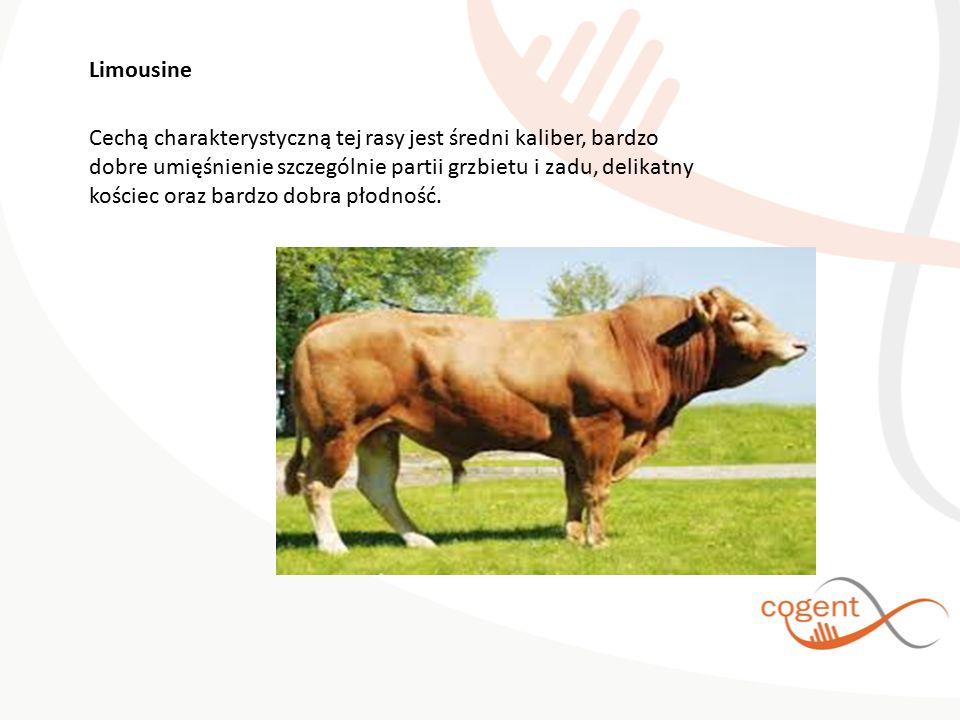 Limousine Cechą charakterystyczną tej rasy jest średni kaliber, bardzo dobre umięśnienie szczególnie partii grzbietu i zadu, delikatny kościec oraz bardzo dobra płodność.