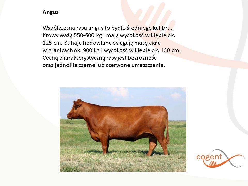 Współczesna rasa angus to bydło średniego kalibru. Krowy ważą 550-600 kg i mają wysokość w kłębie ok. 125 cm. Buhaje hodowlane osiągają masę ciała w g
