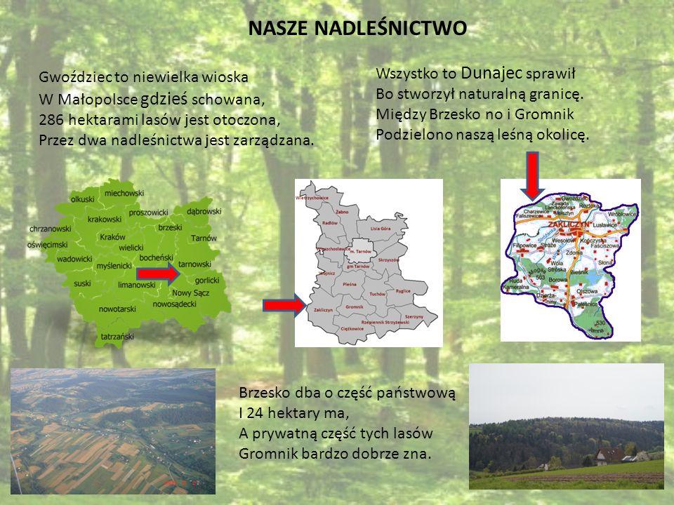 Lasy w Gwoźdźcu są mieszane, Dębów, buków tu od groma, A przeciętna żywotność lasów Na 76 lat jest liczona.