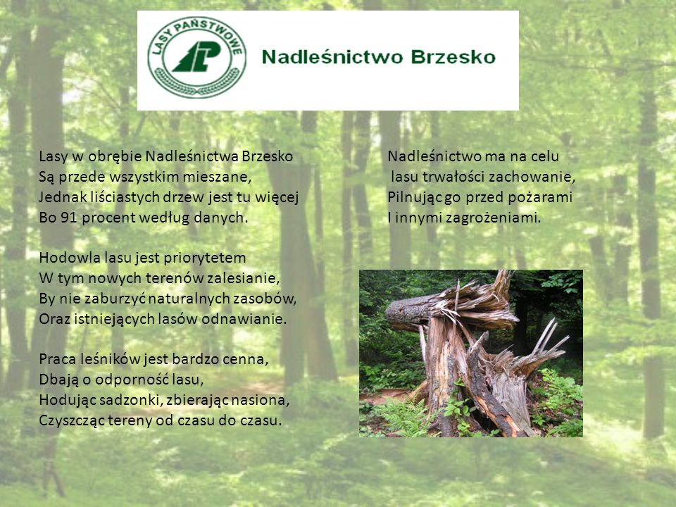 Lasy w obrębie Nadleśnictwa Brzesko Są przede wszystkim mieszane, Jednak liściastych drzew jest tu więcej Bo 91 procent według danych. Hodowla lasu je