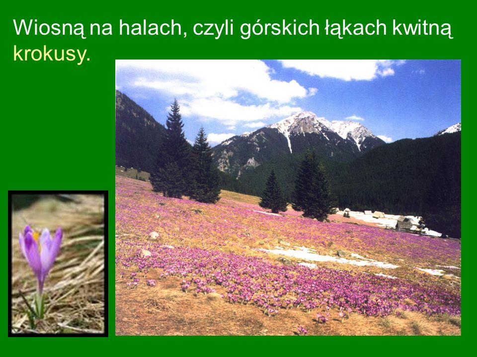 Wiosną na halach, czyli górskich łąkach kwitną krokusy.