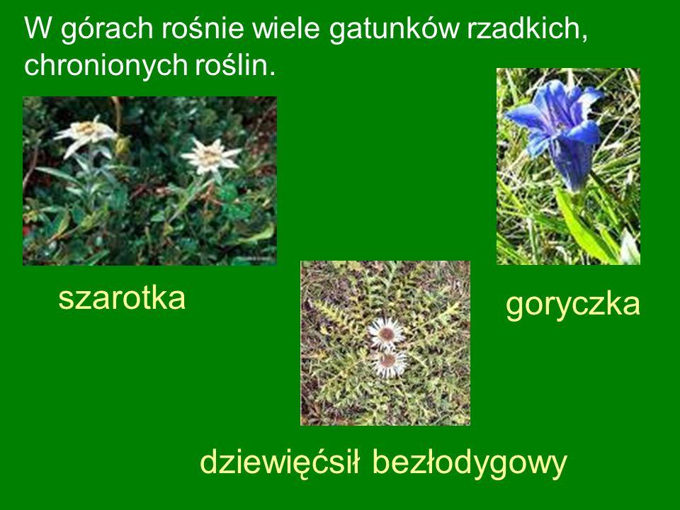 W górach rośnie wiele gatunków rzadkich, chronionych roślin.