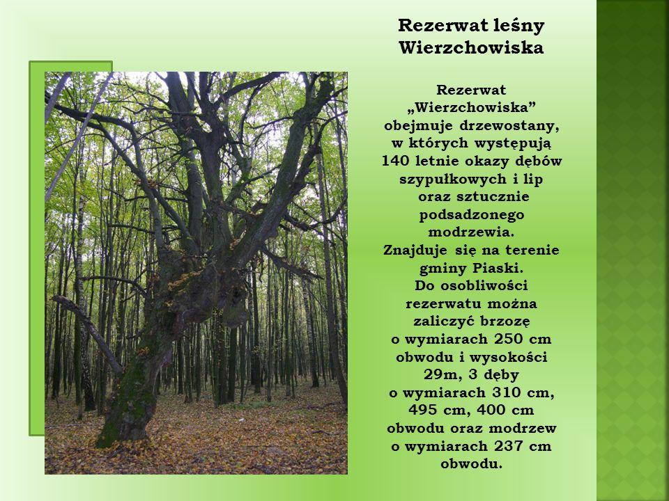 """Rezerwat leśny Wierzchowiska Rezerwat """"Wierzchowiska obejmuje drzewostany, w których występują 140 letnie okazy dębów szypułkowych i lip oraz sztucznie podsadzonego modrzewia."""