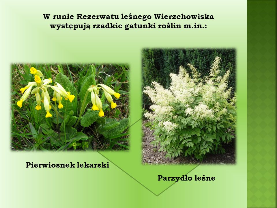W runie Rezerwatu leśnego Wierzchowiska występują rzadkie gatunki roślin m.in.: Parzydło leśne Pierwiosnek lekarski