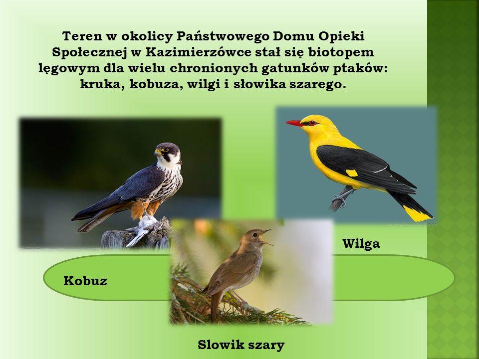 Teren w okolicy Państwowego Domu Opieki Społecznej w Kazimierzówce stał się biotopem lęgowym dla wielu chronionych gatunków ptaków: kruka, kobuza, wilgi i słowika szarego.