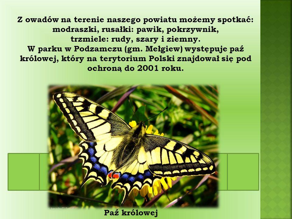 Z owadów na terenie naszego powiatu możemy spotkać: modraszki, rusałki: pawik, pokrzywnik, trzmiele: rudy, szary i ziemny.