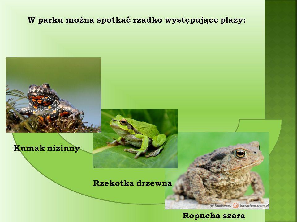 Wśród ptaków do rzadziej spotykanych gatunków należą: Perkozek Potrzos