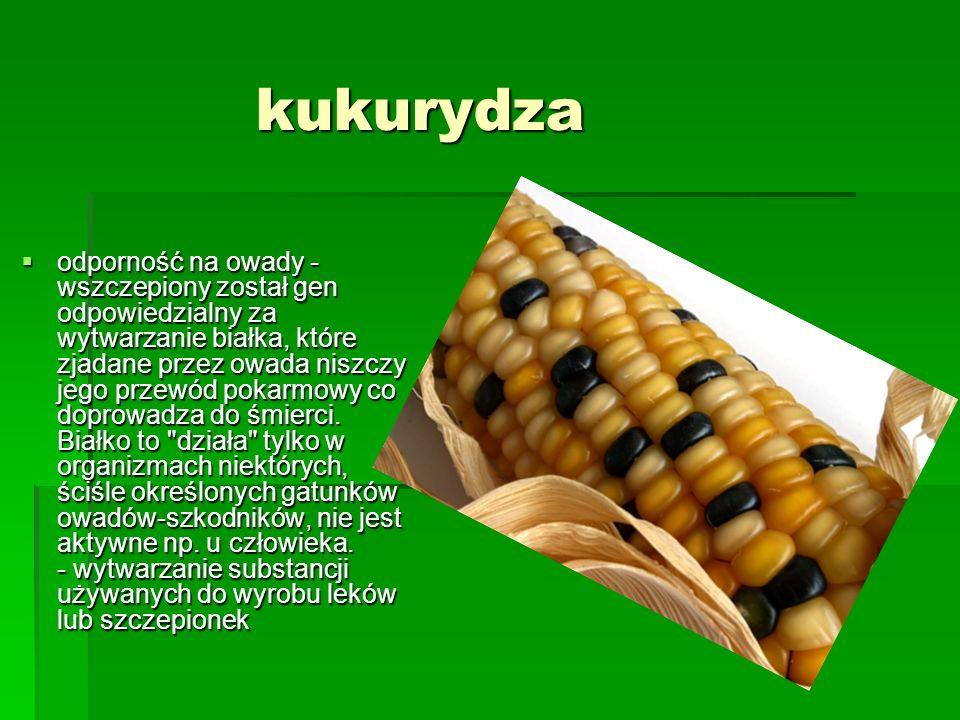 kukurydza  odporność na owady - wszczepiony został gen odpowiedzialny za wytwarzanie białka, które zjadane przez owada niszczy jego przewód pokarmowy
