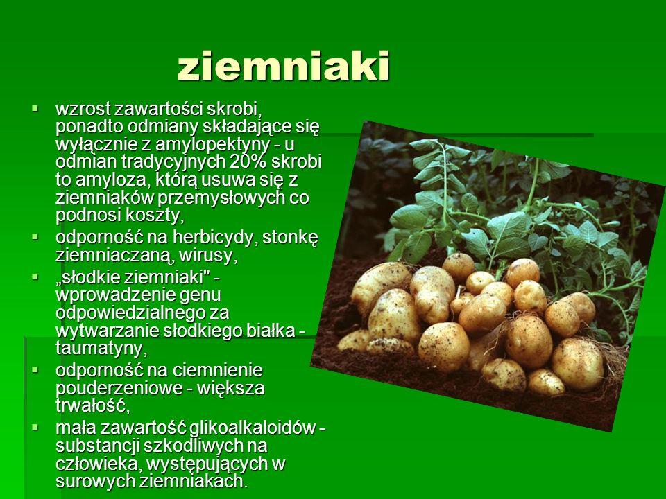 """ziemniaki  wzrost zawartości skrobi, ponadto odmiany składające się wyłącznie z amylopektyny - u odmian tradycyjnych 20% skrobi to amyloza, którą usuwa się z ziemniaków przemysłowych co podnosi koszty,  odporność na herbicydy, stonkę ziemniaczaną, wirusy,  """"słodkie ziemniaki - wprowadzenie genu odpowiedzialnego za wytwarzanie słodkiego białka - taumatyny,  odporność na ciemnienie pouderzeniowe - większa trwałość,  mała zawartość glikoalkaloidów - substancji szkodliwych na człowieka, występujących w surowych ziemniakach."""