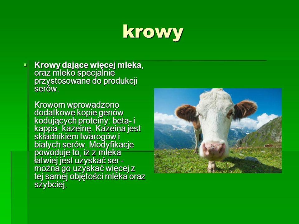 krowy  Krowy dające więcej mleka, oraz mleko specjalnie przystosowane do produkcji serów. Krowom wprowadzono dodatkowe kopie genów kodujących protein