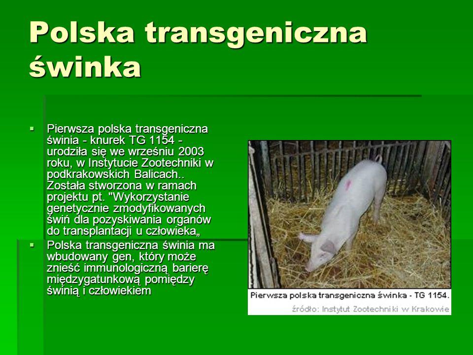 Polska transgeniczna świnka  Pierwsza polska transgeniczna świnia - knurek TG 1154 - urodziła się we wrześniu 2003 roku, w Instytucie Zootechniki w p