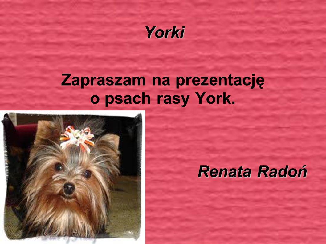 Yorki Zapraszam na prezentację o psach rasy York. Renata Radoń