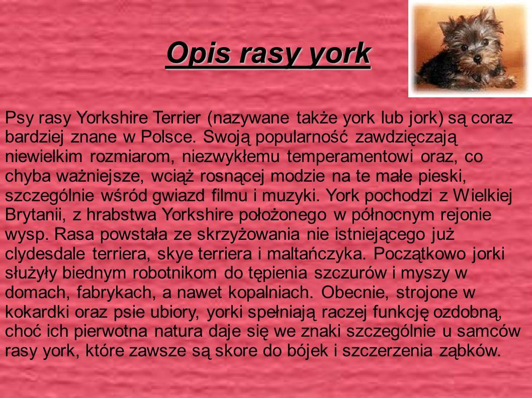 Opis rasy york Psy rasy Yorkshire Terrier (nazywane także york lub jork) są coraz bardziej znane w Polsce.