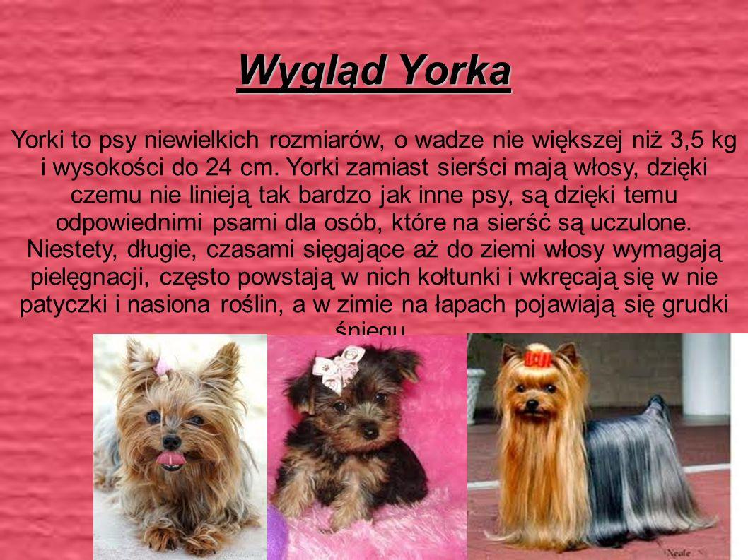 Wygląd Yorka Yorki to psy niewielkich rozmiarów, o wadze nie większej niż 3,5 kg i wysokości do 24 cm.