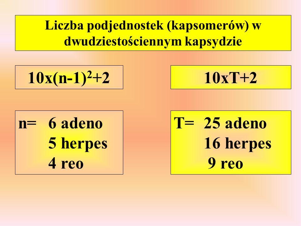 Liczba podjednostek (kapsomerów) w dwudziestościennym kapsydzie 10x(n-1) 2 +2 n=6 adeno 5 herpes 4 reo 10xT+2 T=25 adeno 16 herpes 9 reo