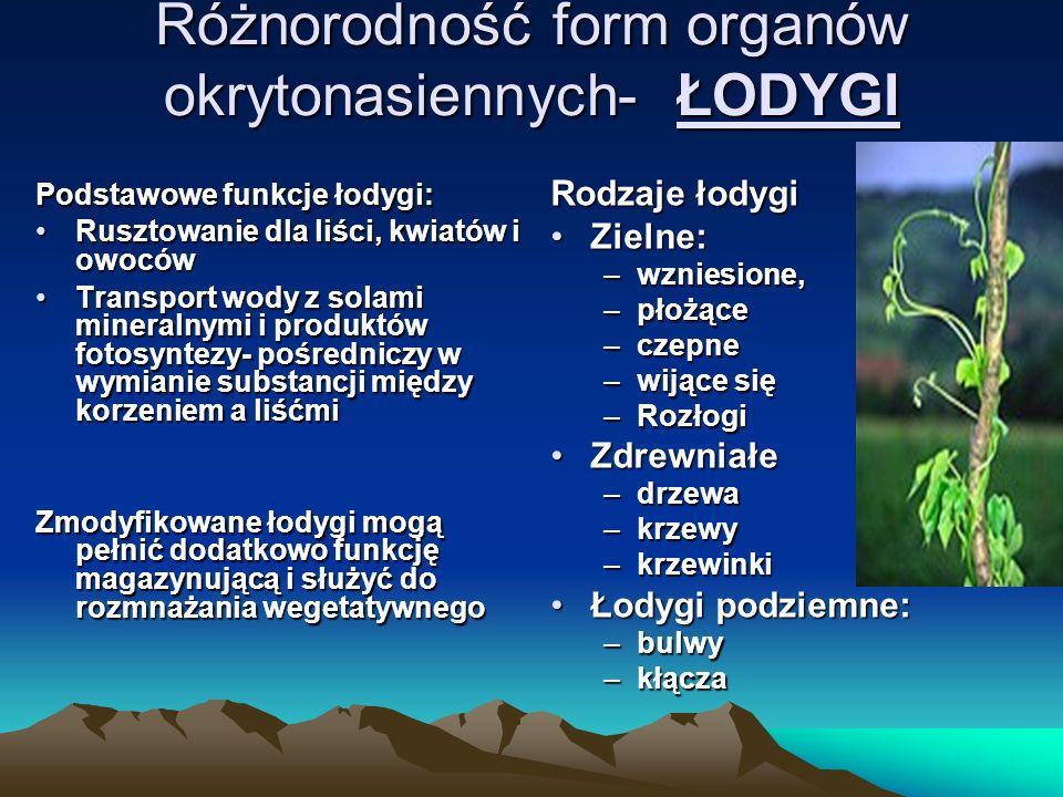 Różnorodność form organów okrytonasiennych- ŁODYGI Podstawowe funkcje łodygi: Rusztowanie dla liści, kwiatów i owocówRusztowanie dla liści, kwiatów i owoców Transport wody z solami mineralnymi i produktów fotosyntezy- pośredniczy w wymianie substancji między korzeniem a liśćmiTransport wody z solami mineralnymi i produktów fotosyntezy- pośredniczy w wymianie substancji między korzeniem a liśćmi Zmodyfikowane łodygi mogą pełnić dodatkowo funkcję magazynującą i służyć do rozmnażania wegetatywnego Rodzaje łodygi Zielne:Zielne: –wzniesione, –płożące –czepne –wijące się –Rozłogi ZdrewniałeZdrewniałe –drzewa –krzewy –krzewinki Łodygi podziemne:Łodygi podziemne: –bulwy –kłącza
