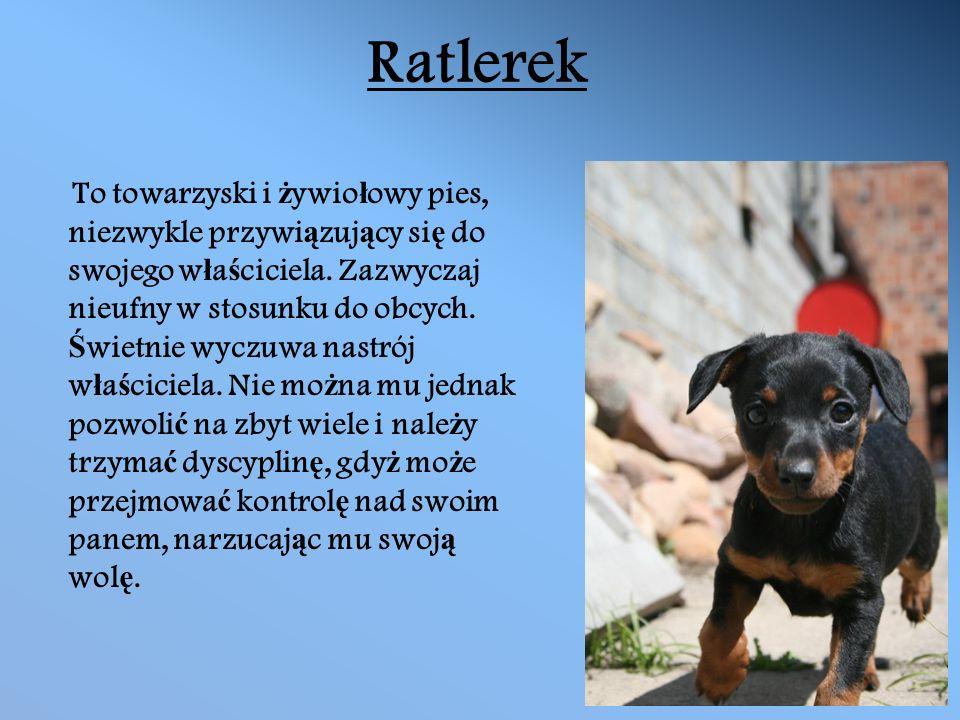 Ratlerek To towarzyski i ż ywio ł owy pies, niezwykle przywi ą zuj ą cy si ę do swojego w ł a ś ciciela.