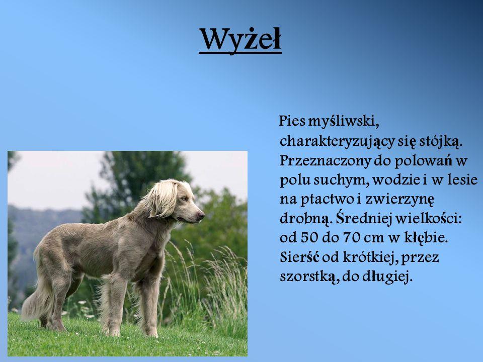 Wy ż e ł Pies my ś liwski, charakteryzuj ą cy si ę stójk ą.