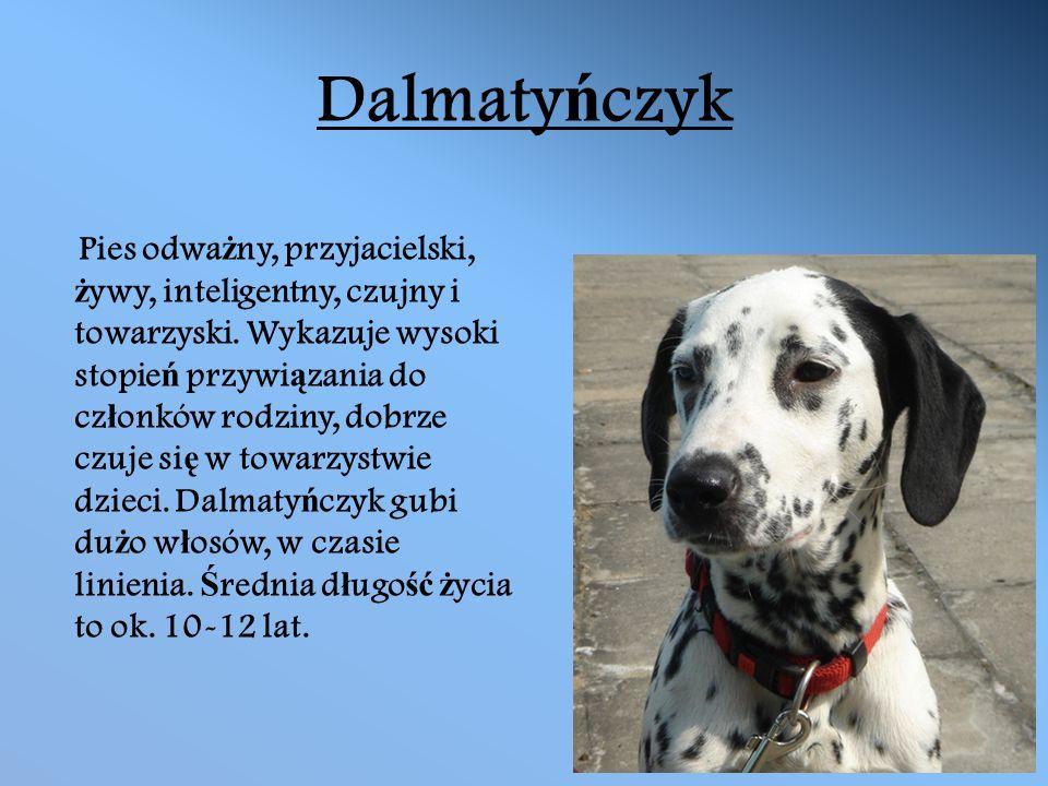 Dalmaty ń czyk Pies odwa ż ny, przyjacielski, ż ywy, inteligentny, czujny i towarzyski.