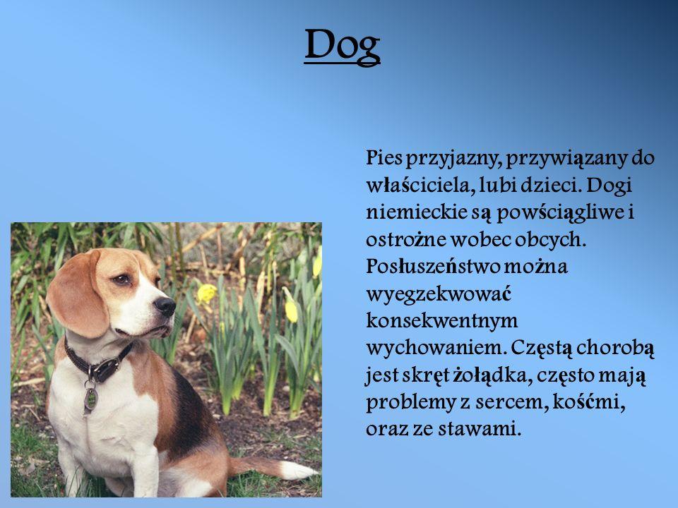 Dog Pies przyjazny, przywi ą zany do w ł a ś ciciela, lubi dzieci.