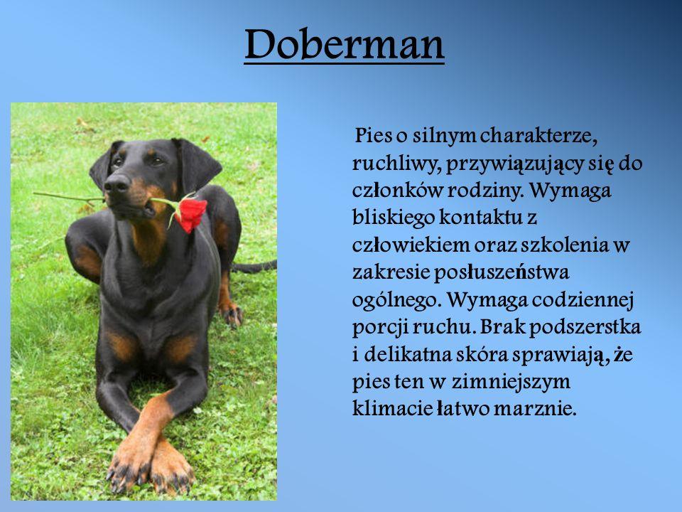 Doberman Pies o silnym charakterze, ruchliwy, przywi ą zuj ą cy si ę do cz ł onków rodziny.