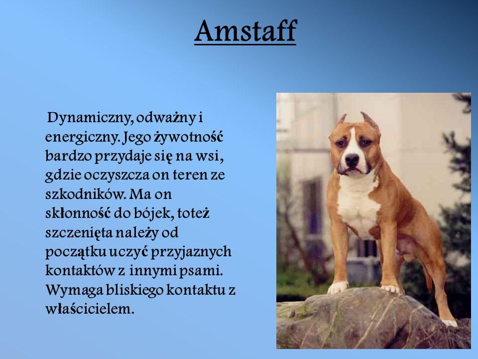 Amstaff Dynamiczny, odwa ż ny i energiczny.