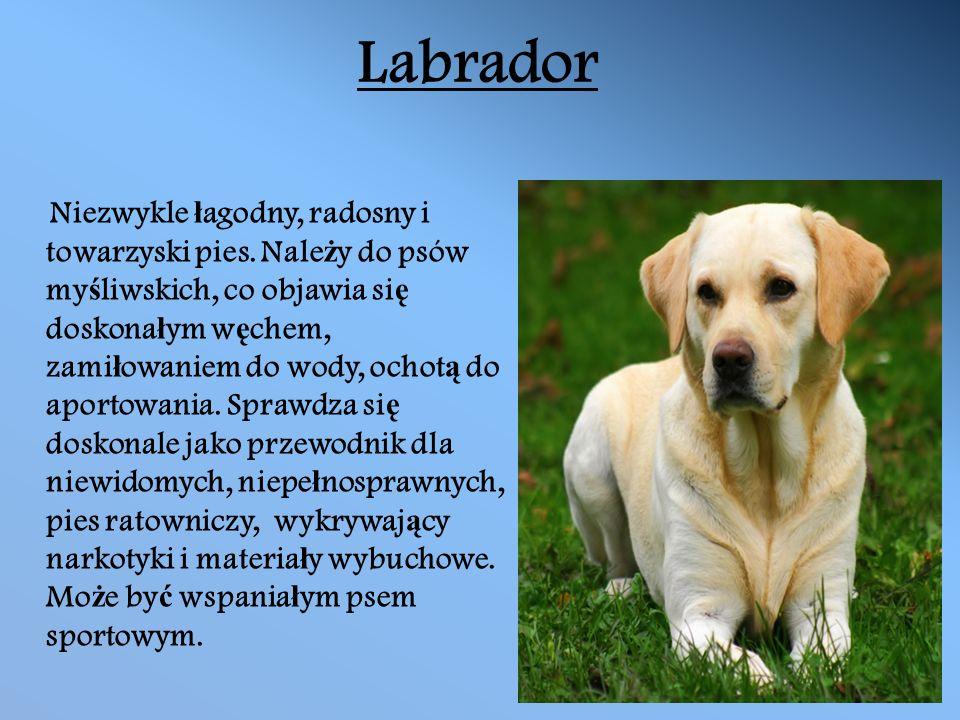 Labrador Niezwykle ł agodny, radosny i towarzyski pies.