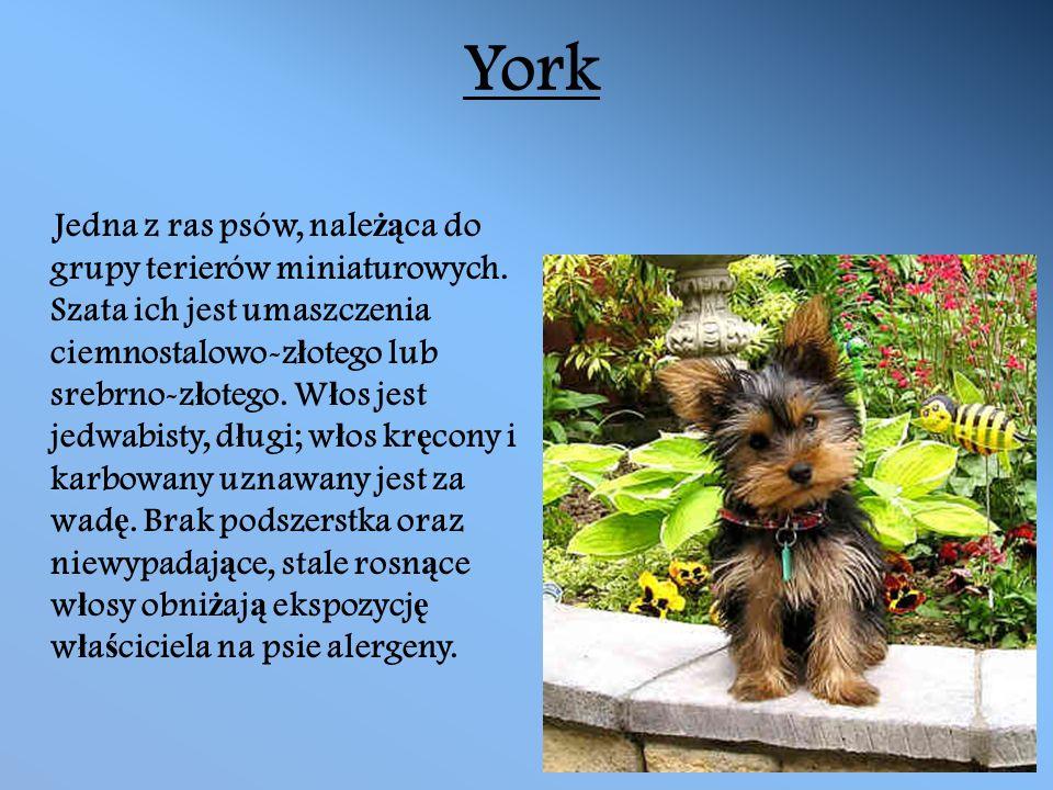 York Jedna z ras psów, nale żą ca do grupy terierów miniaturowych.