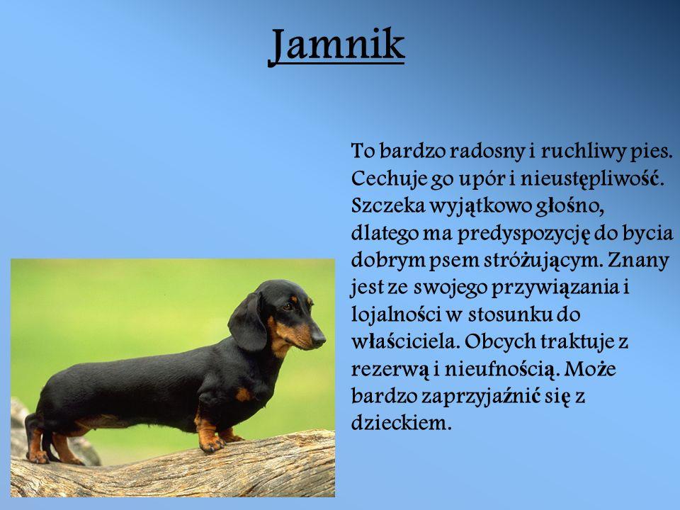 Jamnik To bardzo radosny i ruchliwy pies. Cechuje go upór i nieust ę pliwo ść.
