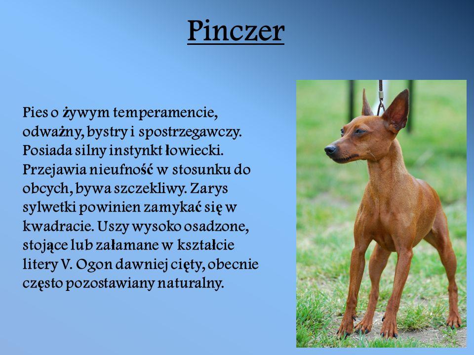 Pinczer Pies o ż ywym temperamencie, odwa ż ny, bystry i spostrzegawczy.