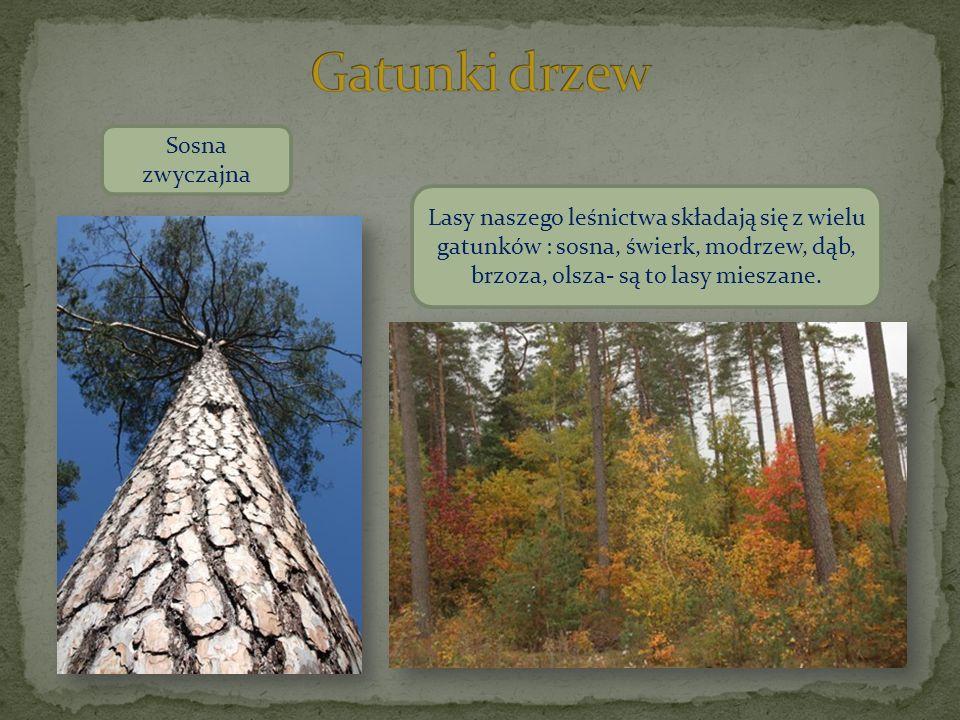 Sosna zwyczajna Lasy naszego leśnictwa składają się z wielu gatunków : sosna, świerk, modrzew, dąb, brzoza, olsza- są to lasy mieszane.