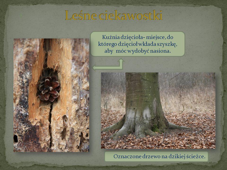 Kuźnia dzięcioła- miejsce, do którego dzięcioł wkłada szyszkę, aby móc wydobyć nasiona. Oznaczone drzewo na dzikiej ścieżce.