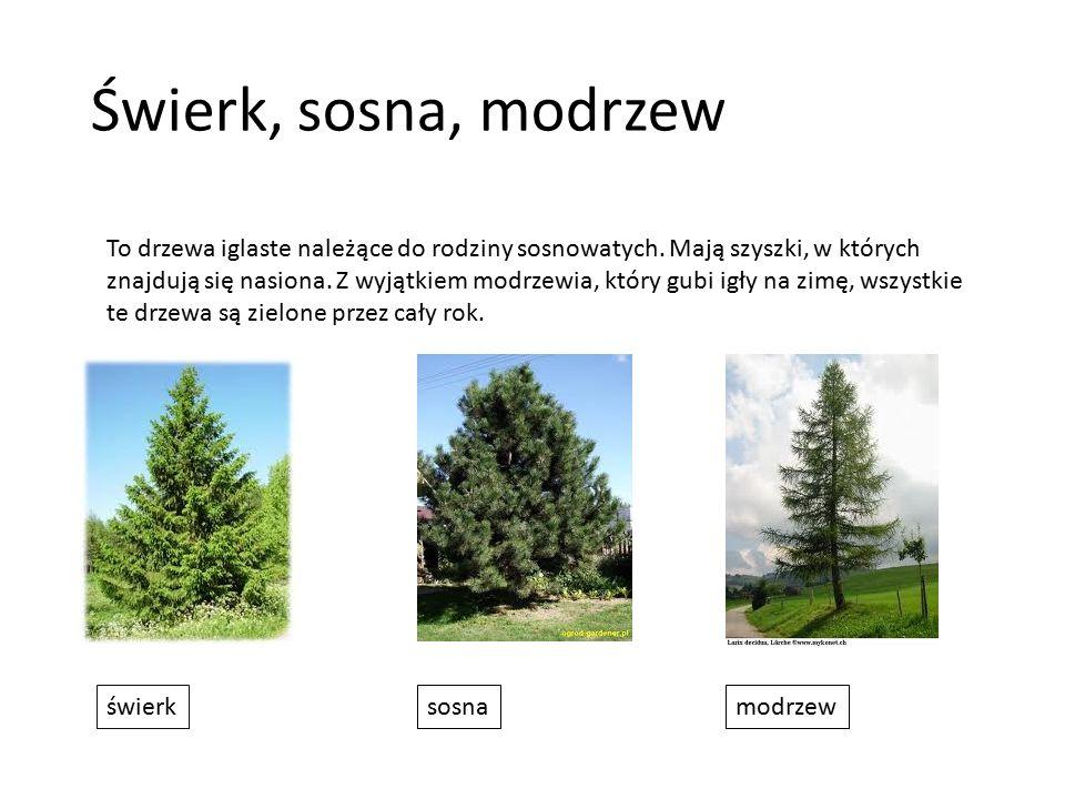 Świerk, sosna, modrzew To drzewa iglaste należące do rodziny sosnowatych. Mają szyszki, w których znajdują się nasiona. Z wyjątkiem modrzewia, który g