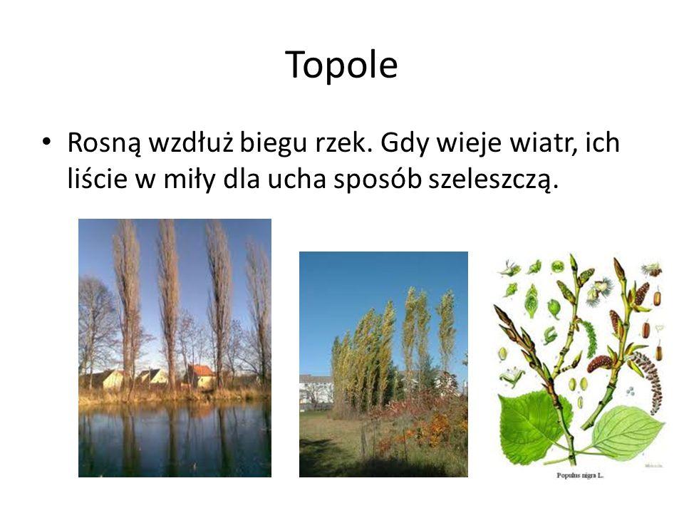 Topole Rosną wzdłuż biegu rzek. Gdy wieje wiatr, ich liście w miły dla ucha sposób szeleszczą.