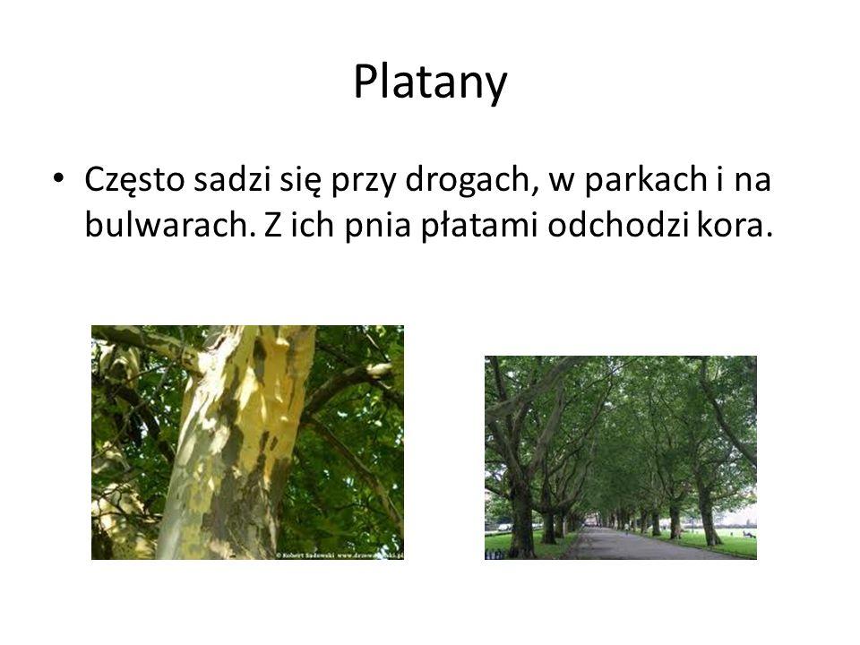 Platany Często sadzi się przy drogach, w parkach i na bulwarach. Z ich pnia płatami odchodzi kora.