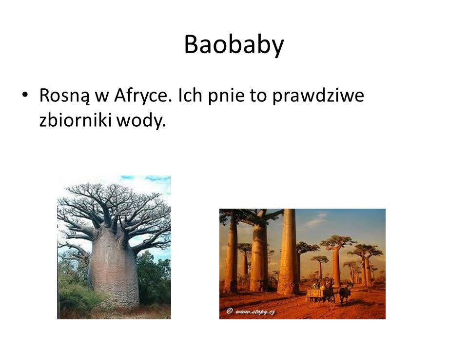 Baobaby Rosną w Afryce. Ich pnie to prawdziwe zbiorniki wody.