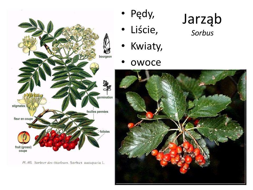 Jarząb Sorbus Pędy, Liście, Kwiaty, owoce