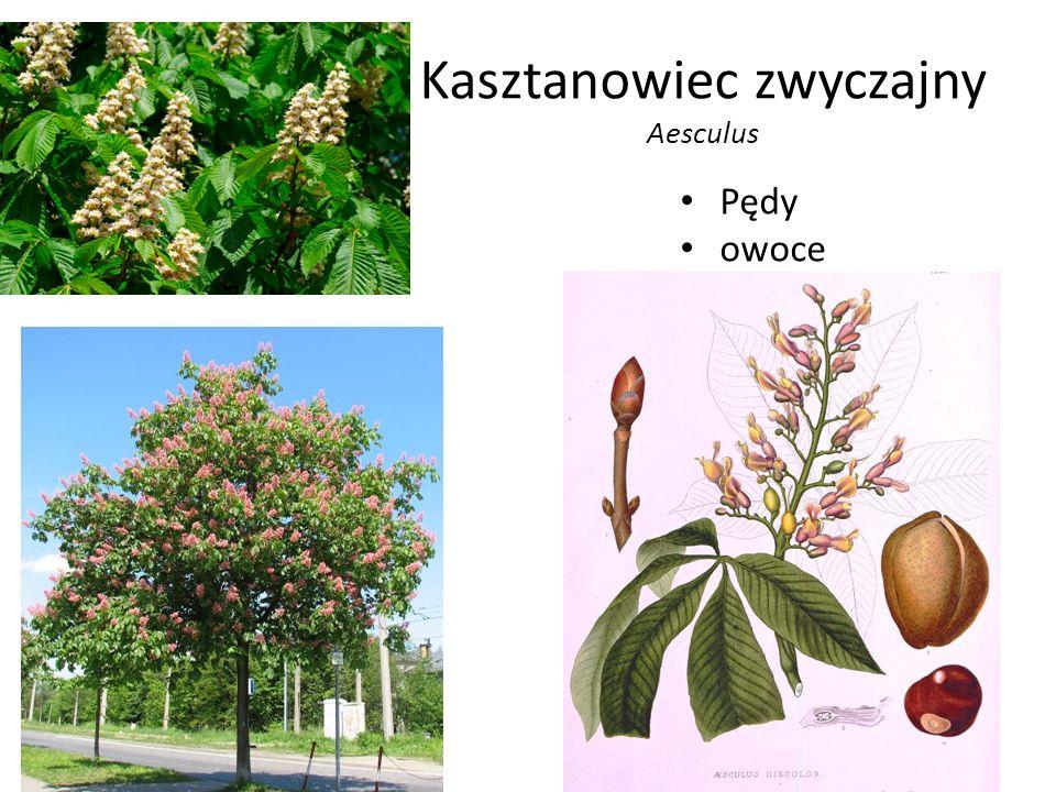 Kasztanowiec zwyczajny Aesculus Pędy owoce