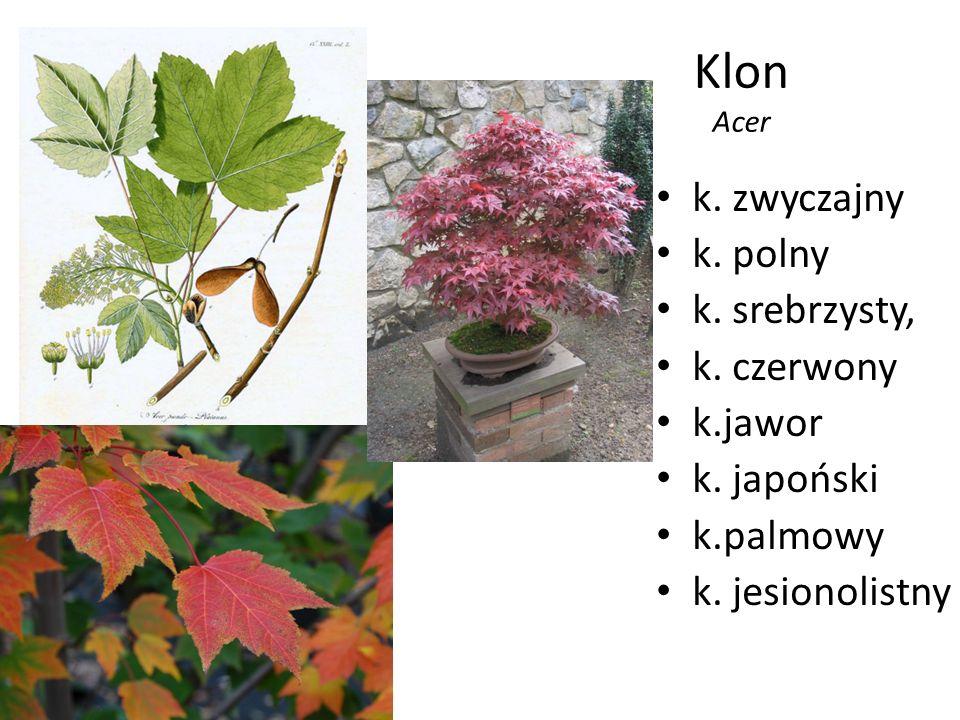 Klon Acer k. zwyczajny k. polny k. srebrzysty, k. czerwony k.jawor k. japoński k.palmowy k. jesionolistny