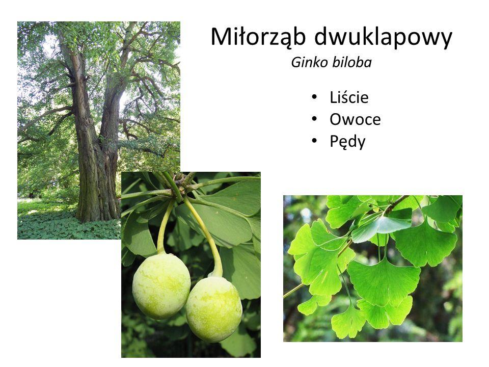 Miłorząb dwuklapowy Ginko biloba Liście Owoce Pędy