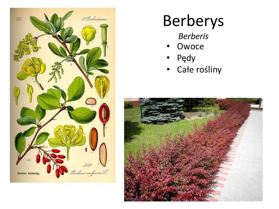 Berberys Berberis Owoce Pędy Całe rośliny