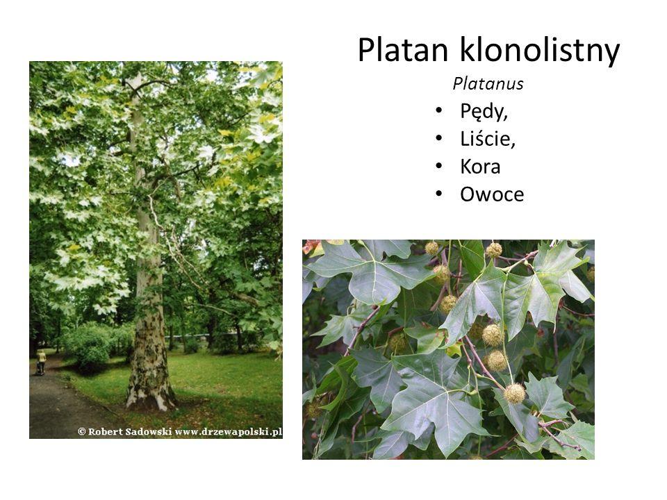 Platan klonolistny Platanus Pędy, Liście, Kora Owoce
